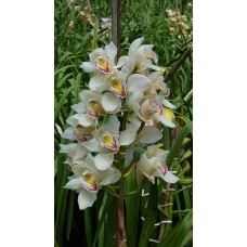 CYMBIDIUM ORCHIDS CREAM