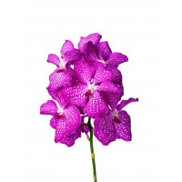 VANDA KANCHANA MAGIC PINK