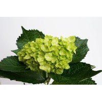 HYDRANGEA S-COLLECTION mini Mojito