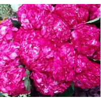 HYDRANGEA S-COLLECTION CERISE DYED