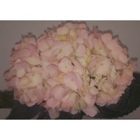 HYDRANGEA S-COLLECTION SOFT PINK DYED