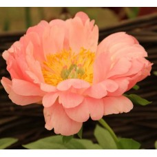 PEONY - CORAL SPECIAL