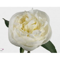 PEONY - WHITE SPECIAL