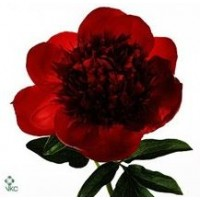 PEONY - RED SPECIAL