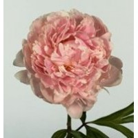 PEONY - PINK SPECIAL