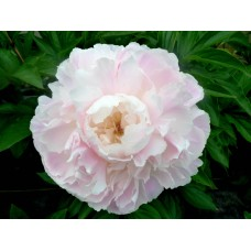 PEONY - SHIRLEY TEMPLE ***SPECIAL NOV OFFER***