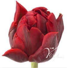 TULIP - RED PRINCESS