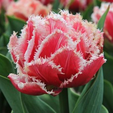 TULIP - QUEENSLAND