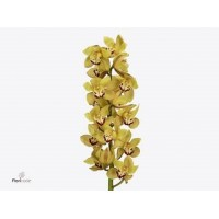 CYMBIDIUM ORCHIDS  Milou, green