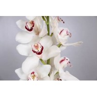 CYMBIDIUM ORCHIDS  Esmee, white