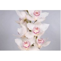 CYMBIDIUM ORCHIDS  Snowbird white with pinks