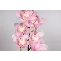 CYMBIDIUM ORCHIDS Aquarella soft pink