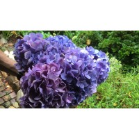 HYDRANGEAS G-COLLECTION DARK BLUE / PURPLE - Headsizes 25 cm ++