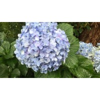 HYDRANGEAS G-COLLECTION LIGHT BLUE - Headsizes 25 cm ++