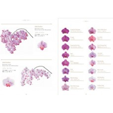 PHALAENOPSIS A collection  - different colors available