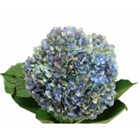 HYDRANGEA S-COLLECTION  ANTIQUE BLUE - GREEN