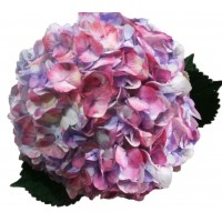 HYDRANGEA S-COLLECTION  ANTIQUE CHERRY Queen