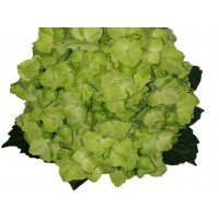 HYDRANGEA S-COLLECTION Lime GREEN