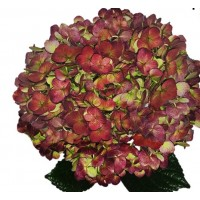 HYDRANGEA S-COLLECTION  ANTIQUE AUTUMN