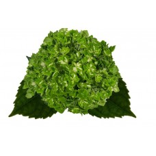 HYDRANGEA S-COLLECTION EMERALD GREEN VARIEGATED