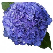 HYDRANGEA S-COLLECTION SHOCKING BLUE