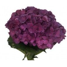 HYDRANGEA S-COLLECTION JUMBO  RASPBERRY