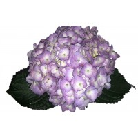 HYDRANGEA S-COLLECTION ELITE LAVENDER