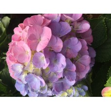 HYDRANGEA K-COLLECTION CANDY FLOSS PINK/BLUE
