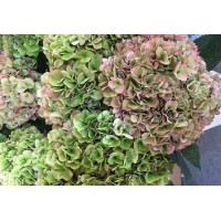HYDRANGEA K-COLLECTION MAGICAL TROPAL CLASSIC