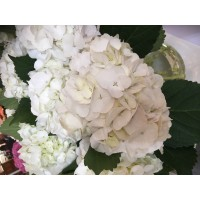 HYDRANGEA K-COLLECTION MOULIERE WHITE , can have touch of green or cream