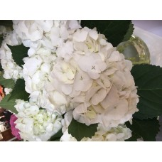 HYDRANGEA K-COLLECTION MOULIERE WHITE