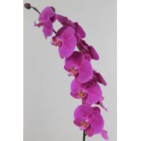 PHALAENOPSIS SEOUL, purple