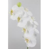 PHALAENOPSIS SOFIA, white