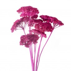 DRIED PAINTED ACHILLEA - FUCHSIA