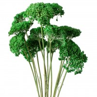 DRIED PAINTED ACHILLEA - GREEN