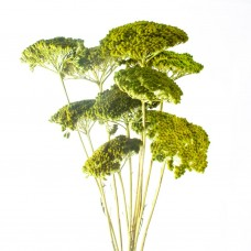 DRIED PAINTED ACHILLEA - LIME GREEN