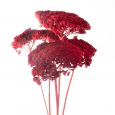 DRIED PAINTED ACHILLEA - RED