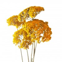 DRIED PAINTED ACHILLEA - YELLOW
