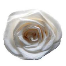 PRESERVED ANN SOPHIE ROSE HEAD - IVORY