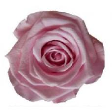 PRESERVED ANN SOPHIE ROSE HEAD - LIGHT PINK