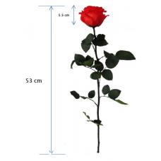 Preserved Rose on Stem - Ann Sophie