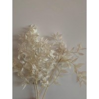 PRESERVED RUSCUS ACULEAT - BLEACHED