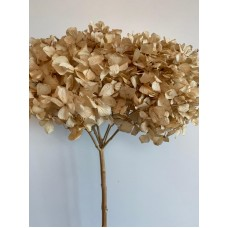 DRIED HYDRANGEA - NATURAL