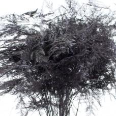 ASPARAGUS - PAINTED AUBERGINE