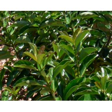 VIBURNUM leaf - G collection