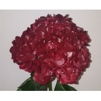 HYDRANGEA S-COLLECTION HOT CHOCOLATE