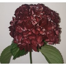 HYDRANGEA S-COLLECTION BROWNIE