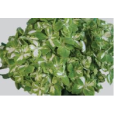 HYDRANGEA S-COLLECTION MINI GREEN