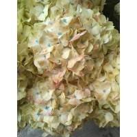 HYDRANGEA S-COLLECTION SELECT -  SPECKLED EGG