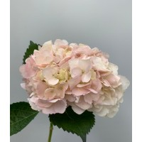 HYDRANGEA S-COLLECTION SOFT PINK